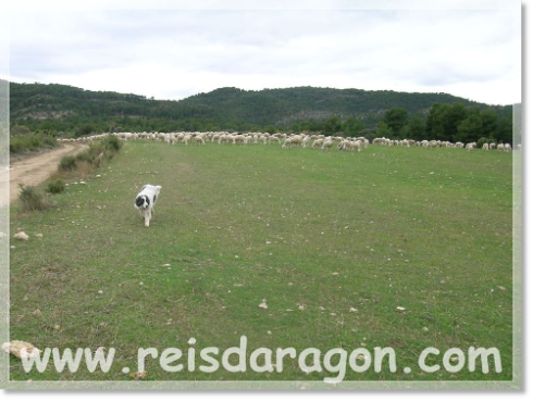 Aniés de Reis D'Aragón learning for herd protection dog