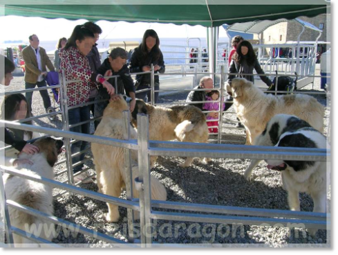 Pyrenean Mastiffs exhibition in Ferieta of Ainsa