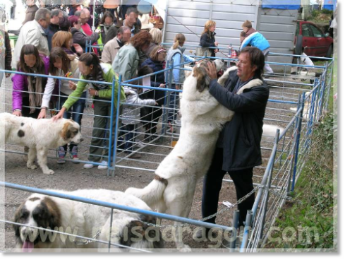 October 2010. Exhibition of Pyrenean mastiffs at the Biescas Autumn Fair