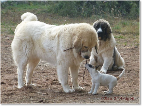 Pyrenean Mastiffs and Jack Russell Terrier