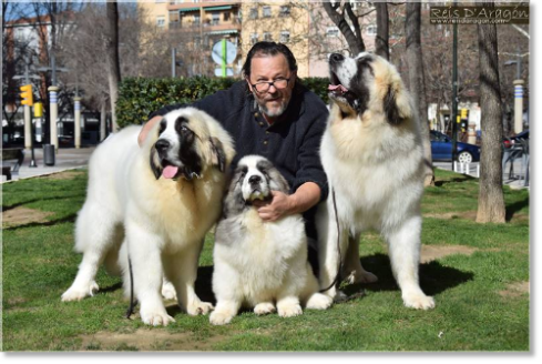 Pyrenean Mastiffs from Reis D'Aragón