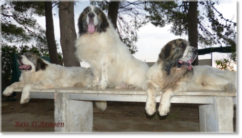 Pyrenean Mastiffs of Reis D'Aragón