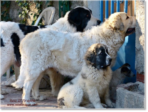 Pyrenean Mastiffs and Jack Russell Terrier in Reis D'Aragón