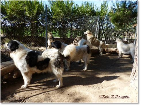 Pyrenean Mastiffs of Reis D'Aragón guarding the farm