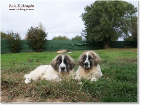 Pyrenean Mastiff Puppies Kraus and Kafka de Reis D'Aragón