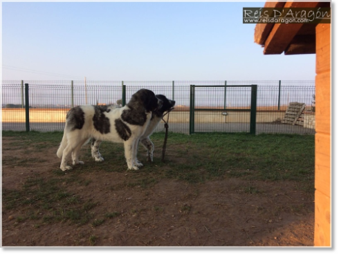 Pyrenean Mastiff Puppies Morilla and Miz de Reis D'Aragón