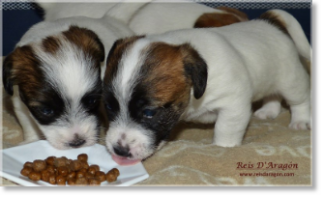 Caring the puppy Jack Russell Terrier