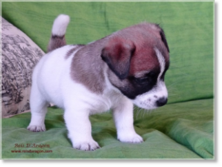 Buying a puppy Jack Russell Terrier