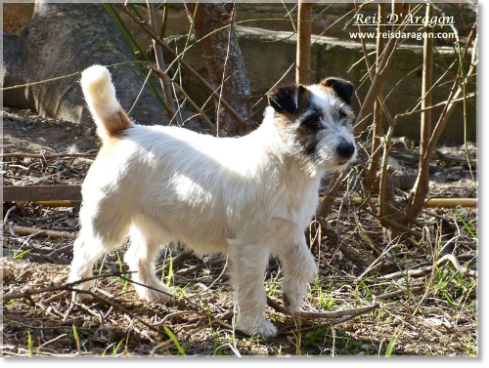 Jack Russell Terrier: Description and character