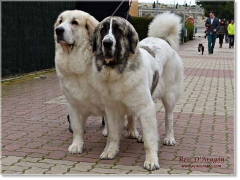 Pyrenean Mastiffs: Mother and daughter